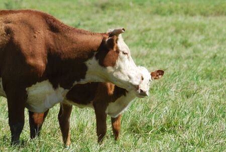 Hereford Cow Kissing Calf