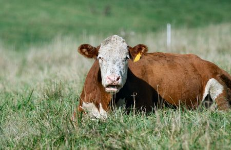 Resting Hereford Cow with Flies on Its Face photo
