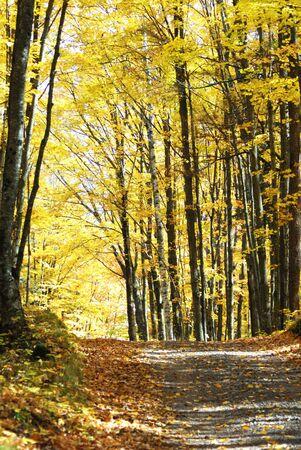 Road Through the Yellow Trees photo