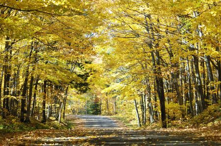 Roadway Through a Tunnel of Yellow Trees