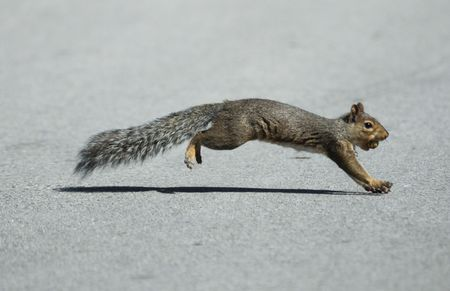furry tail: Squirrel Crossing the Street with a Nut in Its Mouth