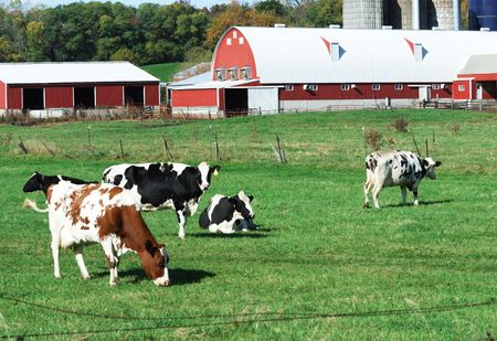 Dairy Cattle by the Red Sheds Stock Photo