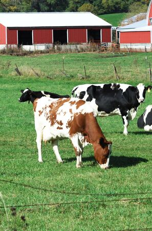 cattle wires: Holstein Cows Grazing in Green Pasture by Red Sheds