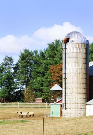 Sheep in the Pasture by the Silo