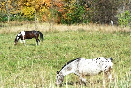 Pinto and Friend Grazing in the Fall photo