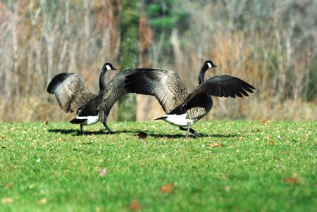 Two Canada Geese Dancing photo
