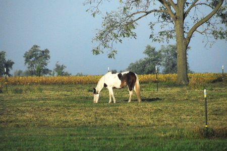 Pinto Grazing by Tree photo
