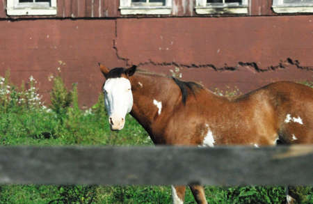 White-faced Horse by Old Red Barn