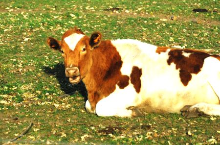 cud: Guernsey Cow Chewing Cud Stock Photo