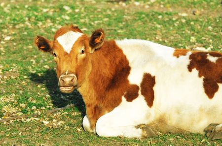 cud: Cud Chewing Cow Stock Photo