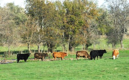 black angus cattle: Beef Cattle Marching in a Row