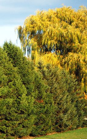 evergreen trees: Evergreen Trees and Weeping Willow