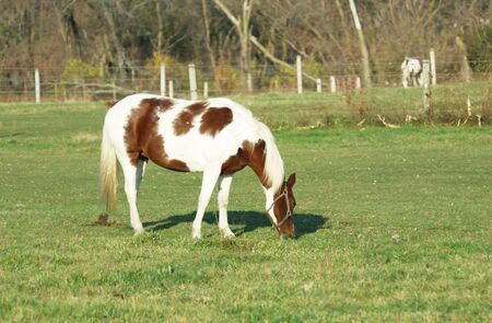 Pinto Grazing on Green Grass photo