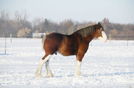 Clydesdale Horse in the Snow photo