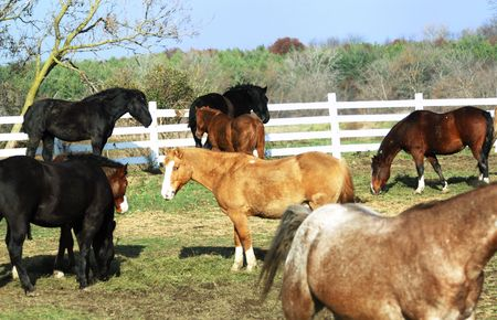 Herd of Horses, One Looking Stock Photo - 4076575