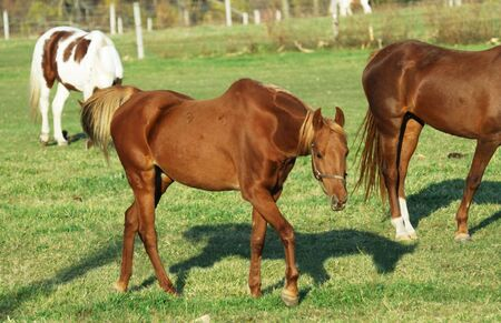 Two Brown Horses, Pinto, and Horse Shadow Archivio Fotografico