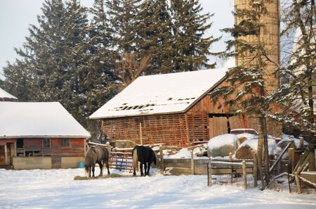 Horses Eating Hay in the Snow Stock Photo - 4160995