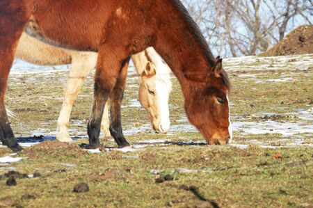 Brown Horse and Palomino Grazing Together photo