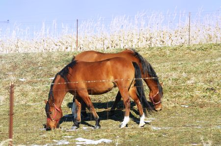 Two Brown Horses Grazing Side-by-side photo