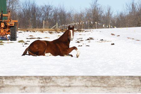 Groot bruin paard in de sneeuw met een tractor Stockfoto