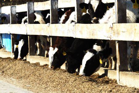 Holstein Cattle Feeder Stock Photo