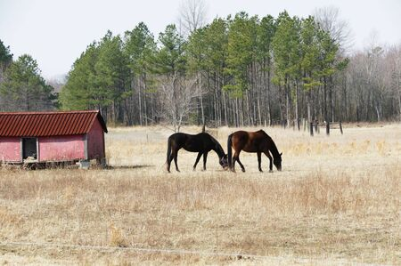 Two Horses Grazing Together by Pink Shed Stock Photo - 4477274