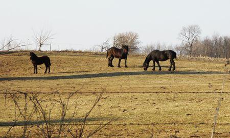 Three Black Horses on the Hillside