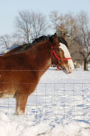 peaking: Big Brown Horse Peaking