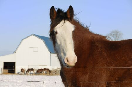 Brown Horse, White Face, and White Barn Stock Photo - 4602467