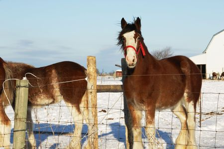 Brown Horses in Winter Pasture photo