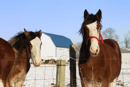 Two Brown Horses Looking photo