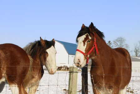 Three Brown Horses in Winter Pasture photo