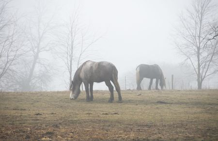 Two Gray Horses Grazing in the Fog photo