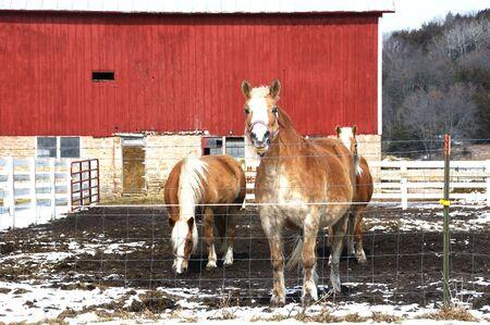 Three Palomino Horses in Muddy Winter Pasture photo