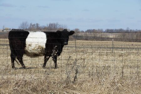 dry cow: Dutch Belted Cow in Dry Pasture Stock Photo