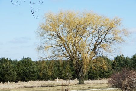 Weeping Willow Tree in Spring Archivio Fotografico