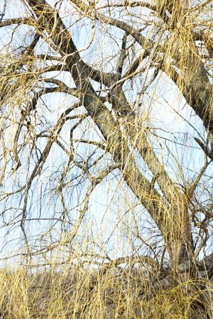 limbs: Weeping Willow Limbs and Branches