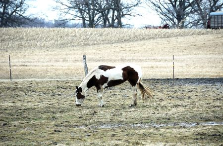 Pinto Grazing in Winter Pasture photo