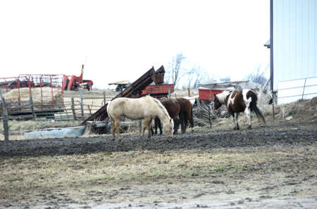 Horses in Winter Corral photo