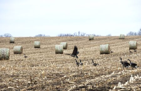Canada Geese by Round Hay Bales
