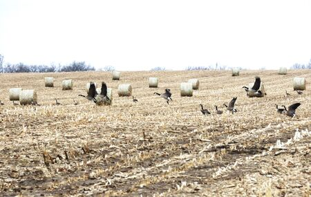 Canada Geese Flying by Round Hay Bales photo
