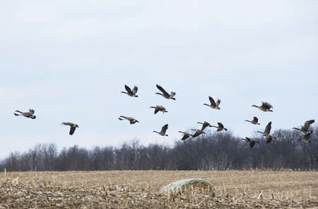 Canada Geese Flying Over Round Hay Bale