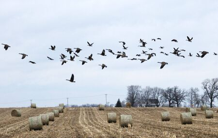 Canad Geese Flying Over Bales of Hay Stock Photo