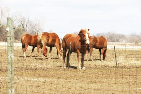 Brown Horses in Dry Pasture photo