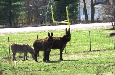 Three Donkeys by Goal Post photo