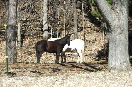 Two Horses, One Brown and One White, in Brown Woods photo