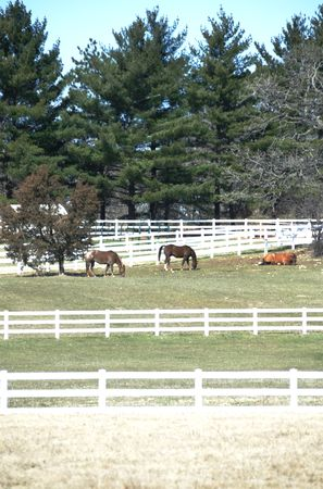 Evergreen Trees and Horses by White Fence (vertical) Stock Photo - 4970711