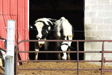 dry cow: Holstein Cows in Red Barn