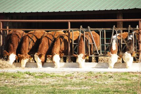 Brown Cows Eating in a Row
