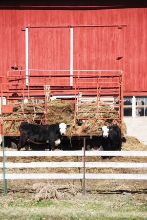 Vacas blancas con negro Caras Foto de archivo - 4993319